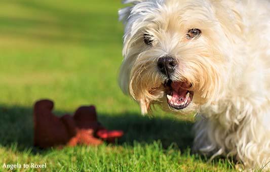 Fotografie: West Highland White Terrier Gina, weiblich, Hund (Canidae) beim Spiel auf der Wiese, Porträt, Close-up, Tierbilder | Angela to Roxel