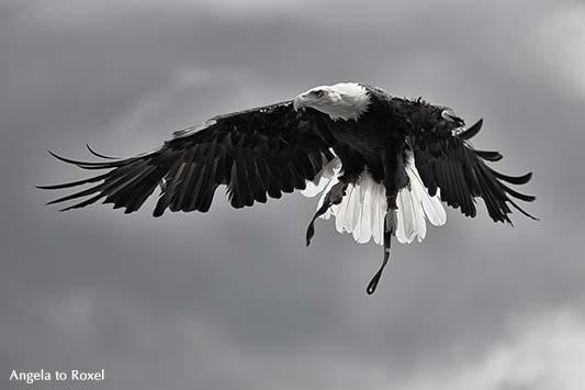 Fotografie: Weißkopfseeadler (Haliaeetus leucocephalus) im Anflug vor Wolkenhimmel, monochrom - Flugshow in der Adlerwarte Berlebeck 2014 -Bildlizenz
