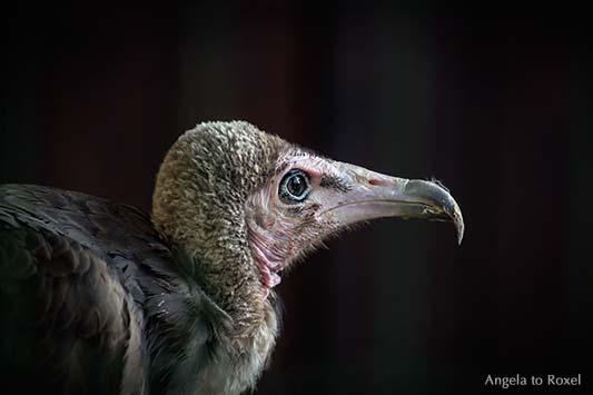Kappengeier (Necrosyrtes monachus) im Profil, Hooded Vulture, Kopf-Portrait vor dunklem Hintergrund, Adlerwarte Berlebeck, Detmold, Teutoburger Wald