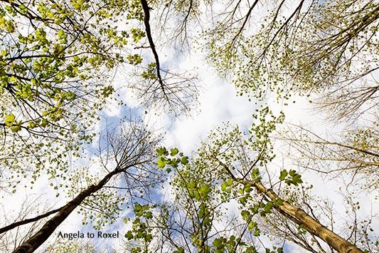 Lichte Baumwipfel im Frühling, Maigrüner Wald, Froschperspektive