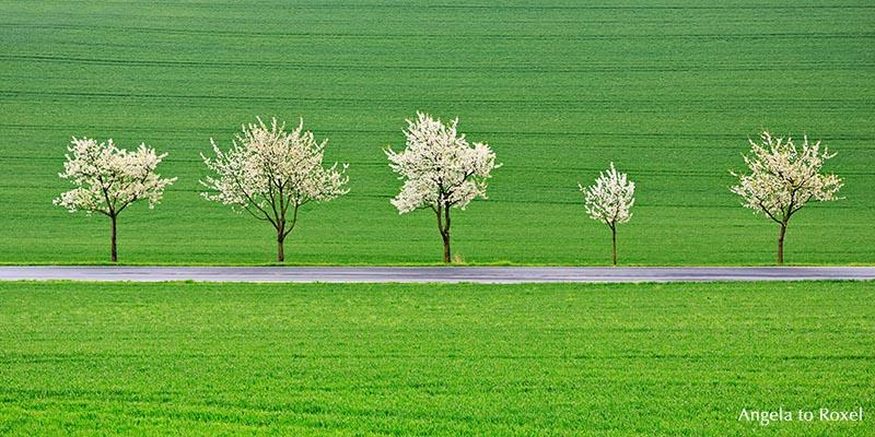 Fünf blühende Kirschbäume am Straßenrand, Kirschbaumblüte in der Rühler Schweiz, Rühle, Bodenwerder, Weserbergland Niedersachsen 2014