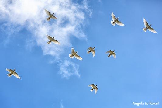 Weiße Tauben fliegen vor leicht bewölktem Himmel, Untersicht