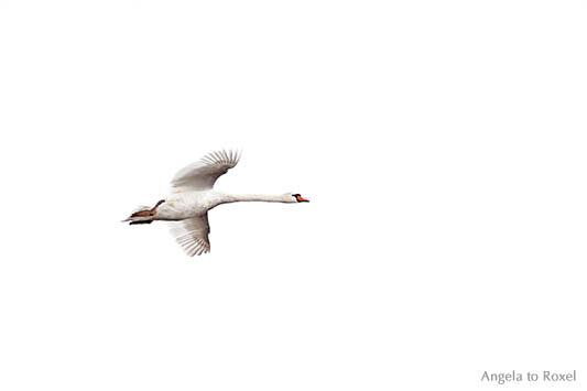 Höckerschwan im Flug (Cygnus olor) von unten, fliegender Schwan im Naturpark Meerbruchswiesen vor weißem Hintergrund, Nähe Steinhuder Meer 2015