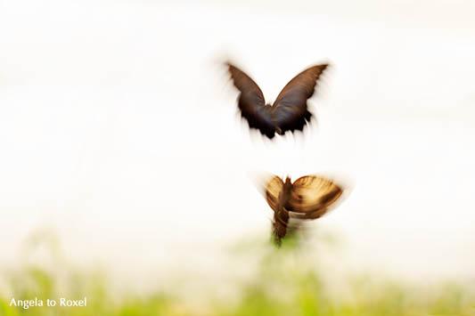 Fotografie: Zwei Schmetterlinge fliegen hoch, Langzeitbelichtung mit Bewegungsunschärfe, Kunstfotografie kaufen | Ihr Kontakt: Angela to Roxel