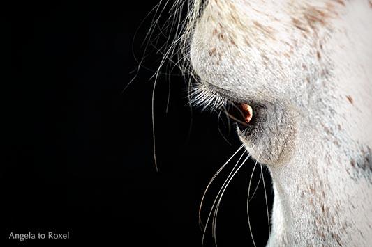 Tierbilder kaufen: Imagine, Eye of a Mare, Auge einer Araberstute, Vollblutaraber, Schimmelstute Aida vor schwarzem Hintergrund | Angela to Roxelergrund | Angela to Roxel