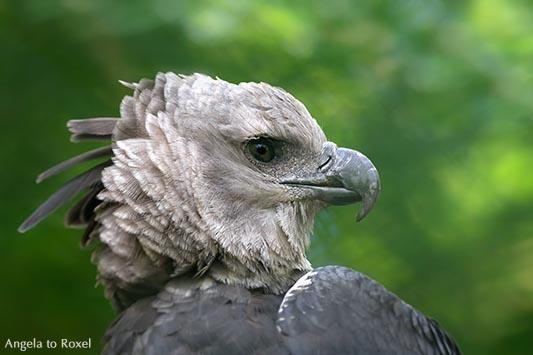 Harpyie - Porträt eines der mächtigsten Greifvögel der Welt, beheimatet in den tropischen Wäldern Südamerikas