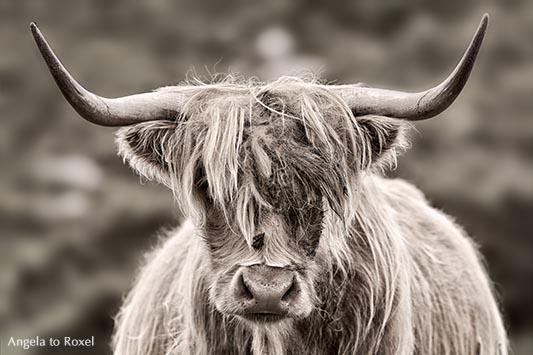 Schottisches Hochlandrind, Highland Cattle, Porträt, monochrom, Insel Lewis and Harris, Äußere Hebriden - Schottland
