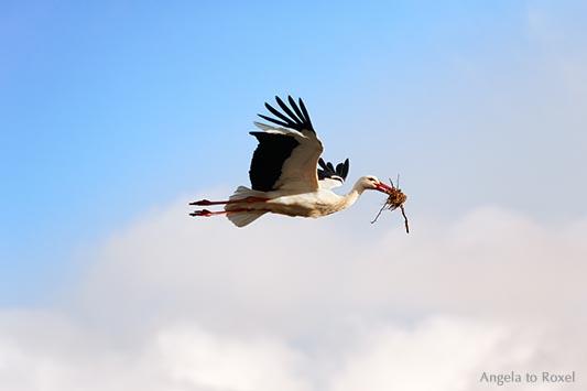 Tierbilder kaufen: Frisky, Fliegender Weißstorch (Ciconia ciconia) mit Nistmaterial im Schnabel, Naturpark Teutoburger Wald | Kontakt: Angela to Roxel