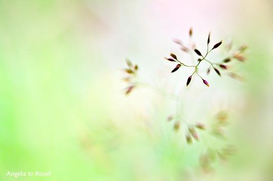 Gräserblüte, blühendes Gras im Sommer, Moment der Aufmerksamkeit und Stille, Makro, Nahaufnahme, Spiel mit dem Licht und der Schärfe - Sommer 2015