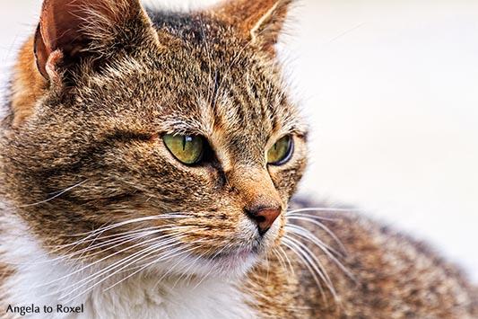 Fotografie: Ain't No Sunshine: Blick einer Katze, Hauskatze (Felis silvestris catus), close-up, Porträt, Tierbilder kaufen | Ihr Kontakt: A. to Roxel