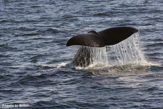 Fotografien kaufen: Going back, Pottwal-Fluke, Pottwal beim Abtauchen vor der Küste von Andenes, Vesterålen, Norwegen | Ihr Kontakt: Angela to Roxel