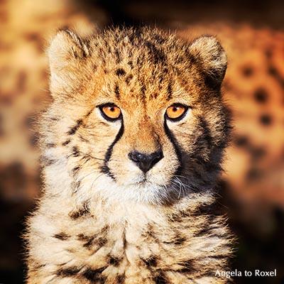 Junger Gepard blickt frontal in die Kamera, Porträt