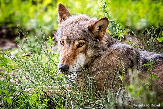 Porträt einer Wölfin, Shooting im Gehege, als Fotografin im Gehege - Wisentgehege Springe 2013Fotografie: She wolf, Wölfin im Gehege, Porträt, Shooting im Gehege, als Fotografin im Wolfsgehege, Wisentgehege Springe | Kontakt: Angela to Roxel