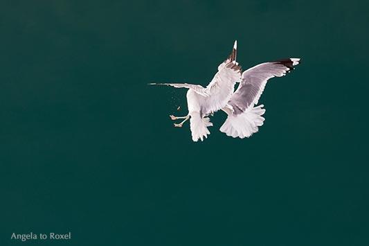 Fotografie: Zwei Möwen, Silbermöwen, kämpfen in der Luft um ein Stück Brot, türkisgrünes Wasser des Geirangerfjords im Hintergrund - Norwegen 2014