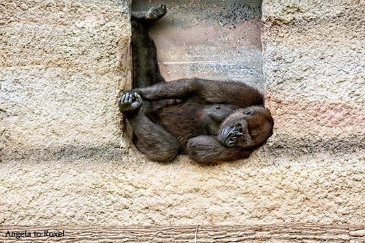 Westlicher Flachlandgorilla (Gorilla gorilla gorilla) liegt in einer Mauernische, Zoo Rostock