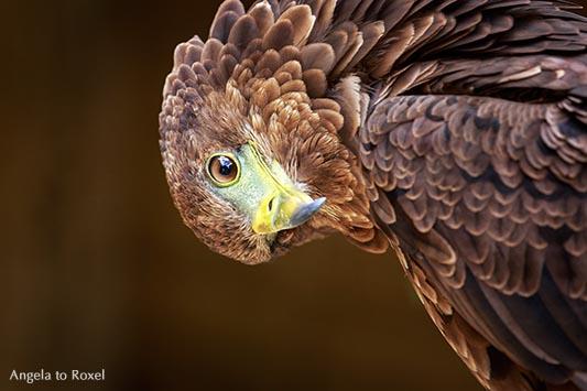 Tierbilder kaufen: Gaukler (Terathopius ecaudatus), Greifvogel, Jungvogel neigt den Kopf, Blick in die Kamera, braunes Federkleid |  Angela to Roxel