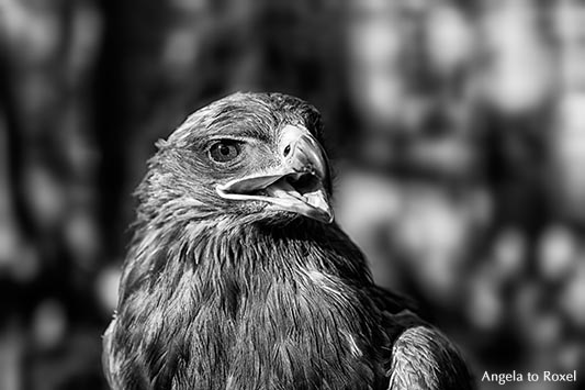 Steppenadler (Aquila nipalensis) der Horus-Falknerei auf der Mystica Hamelon, Schwarzweiß-Porträt, rufend - Hameln, Niedersachsen 2013