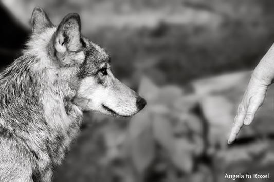 Mensch und Wolf, Annäherung im Gehege, Wölfin beobachtet die Hand einer Frau, Shooting im Gehege - Wisentgehege Springe