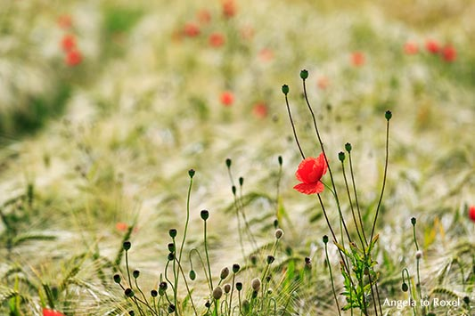 Gerstenfeld mit einzelner Blüte vom Klatschmohn (Papaver rhoeas) im Vordergrund, Mohnkapseln, ökologischer Landbau, Wilmeröderberg, Polle - Juni 2016