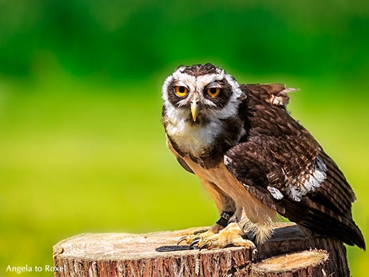 Portrait of a spectacled owl (Pulsatrix perspicillata) - Vogelpark Walsrode