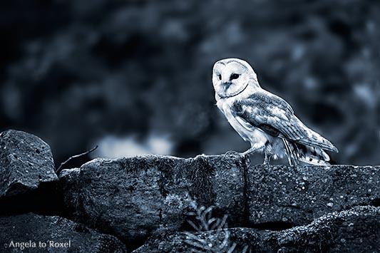 Tierbilder kaufen: Lookout, Schleiereule (Tyto alba) sitzt auf einer Mauer, Eule auf Warte, monochrom, Wildpark Neuhaus | Ihr Kontakt: Angela to Roxel