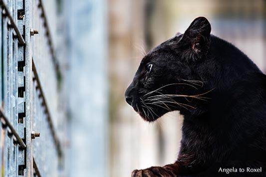 Schwarzer Panther (Panthera pardus), Leopard mit schwarzer Färbung, schaut durch das Gitter seines Geheges - Tierpark Pyrmont