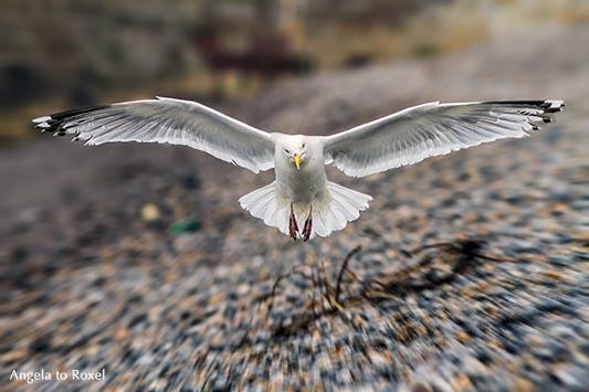 Tierbilder kaufen: Möwe, Silbermöwe (Larus argentatus) fliegt los, Flügelspanne, Blickkontakt, Normandie, Frankreich | Ihr Kontakt: Angela to Roxel