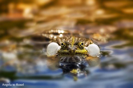 Teichfrosch mit Schallblasen im Naturschutzgebiet Meerbruchswiesen, auch Schwimmende Wiesen genannt - Winzlar
