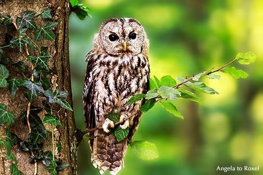 Tierbilder kaufen: Fragile, Waldkauz (Strix aluco) sitzt auf einem Zweig im Wald, Kasselburg, Vulkaneifel | Ihr Kontakt: Angela to Roxel