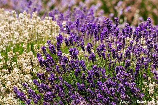 Landschaftsbilder kaufen: Cotswold lavender, blau und weiß, Lavendelfeld in den Cotswolds, blauer und weißer Lavendel, Broadway | Kontakt: A. to Roxel