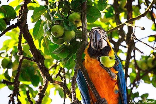 Gelbbrustara (Ara ararauna) sitzt in einem Apfelbaum und frisst einen Apfel - Heiligenkirchen