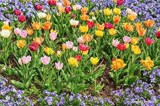 Verschiedenfarbige Tulpen in einem Beet, rosa, gelb, orange, Blumenbeet im Frühling, Bad Pyrmont, Nordrhein-Westfalen 2013