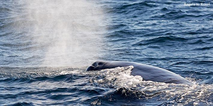 Tierbilder kaufen: Pottwal, Pottwalbulle atmet an der Wasseroberfläche, Küste von Andenes, Andøy, Insel Andøya, Vesterålen, Norwegen | A. to Roxel