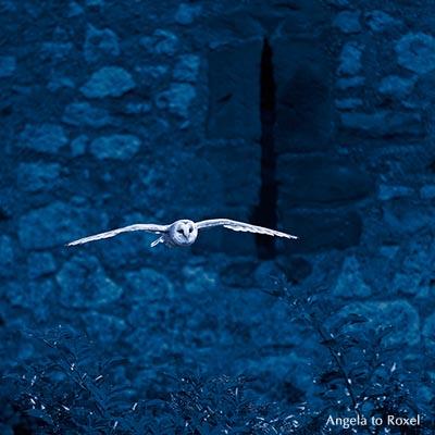 Tierbilder kaufen: Schleiereule (Tyto alba) fliegt, Eule im Flug, im Hintergrund die Kasselburg, Dunkelheit, Vulkaneifel | Kontakt: Angela to Roxel