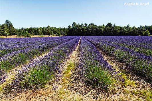 Lavendelfeld in Sault, Reihen von Lavendelpflanzen, Lavendelblüte in der Provence - Frankreich, Sommer 2016
