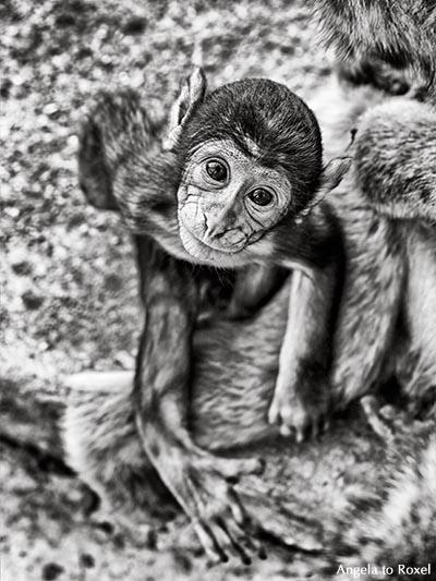 Berberaffe (Macaca sylvanus), auch Magot, Makake, Jungtier der in Europa einzigen freilebenden Affen auf dem Affenfelsen, schwarzweiß - Gibraltar 2016