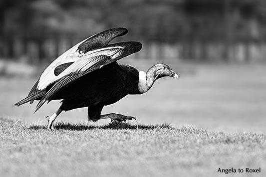 Fotografie: Weiblicher Andenkondor (Vultur gryphus) Luzie läuft, schwarzweiß, Weltvogelpark Walsrode 2014 | Tierbilder - Ihr Kontakt: Angela to Roxel