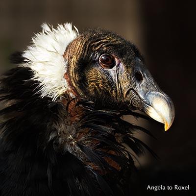 Andenkondor (Vultur gryphus), weiblich, Kopfporträt, Ursprung in Südamerika, Adlerwarte Berlebeck, Detmold,  Nordrhein-Westfalen, Deutschland
