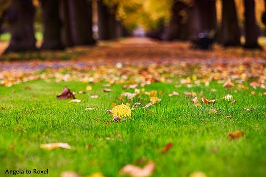 Blätter im Herbst vor einer Allee, geringe Schärfentiefe, Berggarten in den Herrenhäuser Gärten - Hannover 2013