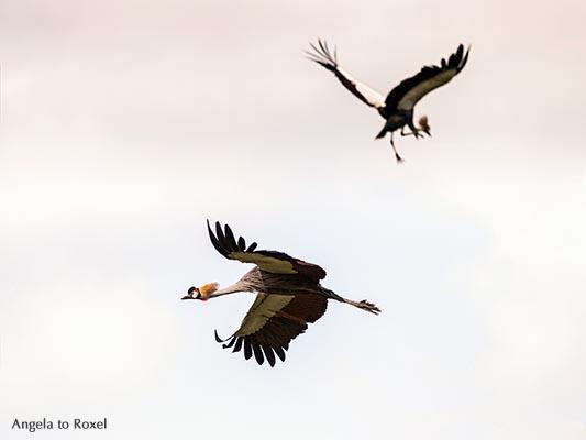 Fotografie: Tanz der Kraniche, zwei graue Kronenkraniche (Balearica regulorum) im Flug, Luftsprung, Weltvogelpark Walsrode, Niedersachsen, März 2014