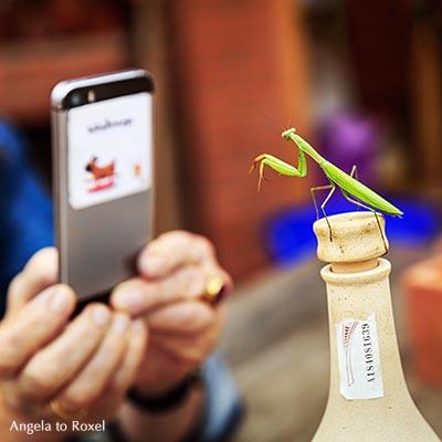 Gottesanbeterin (Mantis religiosa) posiert auf einer Flasche, wird dabei mit einem Smartphone fotografiert - Barcelona, Oktober 2016