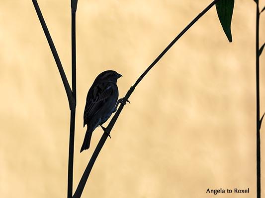 Tierbilder kaufen: Silhouette, Spatz auf einem Zweig, Haussperling (Passer domesticus) sitzt auf einem Zweig im Gebüsch | Ihr Kontakt: Angela to Roxel