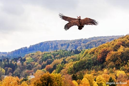 Zwei Kappengeier (Necrosyrtes monachus) im Flug über den Herbstwald, Teutoburger Wald, Adlerwarte Berlebeck - Detmold 2014