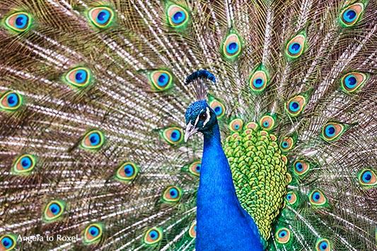 Blauer Pfau (Pavo cristatus) schlägt ein Rad und präsentiert seinen prächtigen Federfächer, Balzverhalten in der Paarungszeit - April 2015