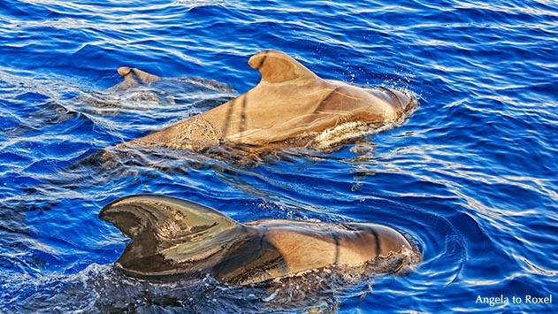 Tierbilder kaufen: Grindwale (Globicephala melas), Jungtier in einer Gruppe, im Schatten eines Segelbootes, Whale watching, Teneriffa | A. to Roxel