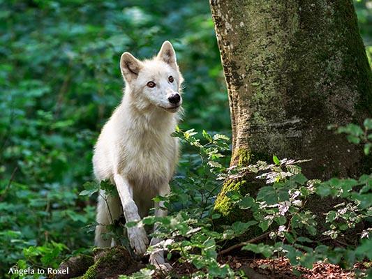 Fotografie: Polarwolf (Canis lupus arctos) im Wald-Gehege, aufmerksamer Blick, Adler-und Wolfspark Kasselburg, Vulkaneifel 2015 - Tierfotografie