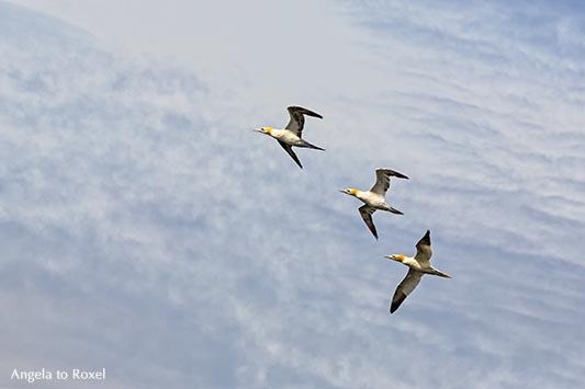 Fotografie: Drei Basstölpel (Morus bassanus) über Farne Islands, fliegen am Himmel, Farne Islands, Northumberland - Tierfotografie, Wildlife