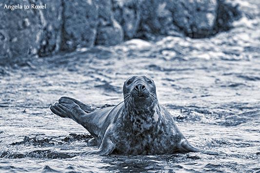 Fotografie: Kegelrobbe (Halichoerus grypus) robbt an Land, monochrome, cayn, Inner Farne, Farne Islands, Northumberland, England, Tierbild, Bildlizenz