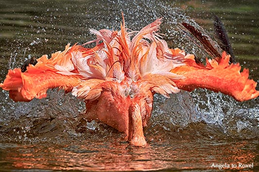 Roter Flamingo oder Kubaflamingo (Phoenicopterus ruber) badet, taucht Kopf ins Wasser und schlägt mit den Flügeln - Vogelpark Walsrode 2015