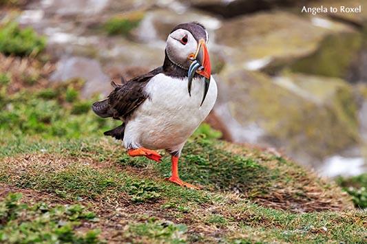 Papageitaucher (Fratercula arctica), auch Puffin genannt, landet und hat Fische, Sandaale im Schnabel, Farne Islands, Northumberland - England